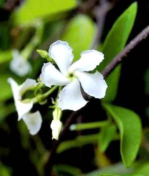 素馨花属草本植物春季种植